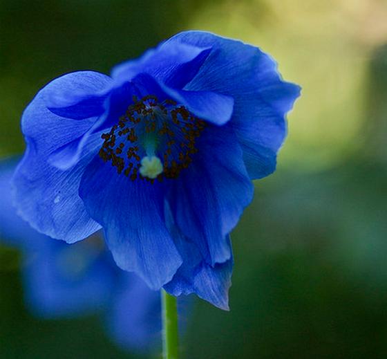 meconopsis-blue-poppy