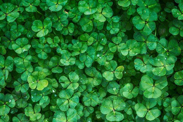 clover-1225988_1280